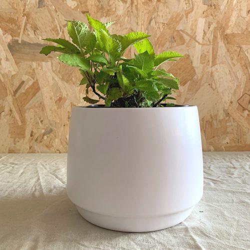 sauge glutineuse plante vivace
