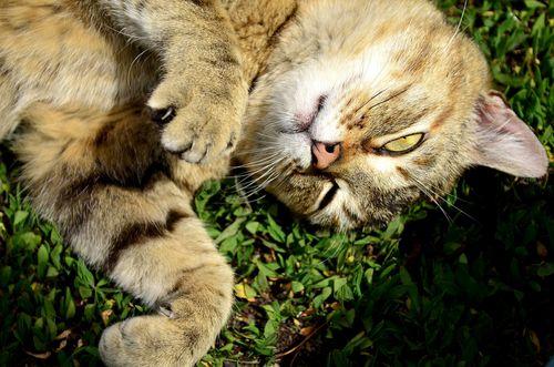 chat herbe à chat comportement plante jardinage