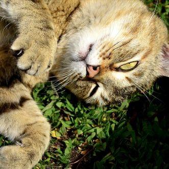 nepeta plante aromatique chat