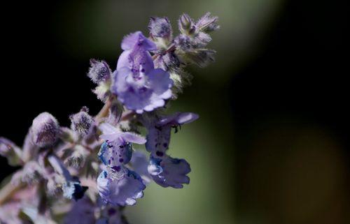 nepeta plante aromatique vivace herbe à chat jardinage
